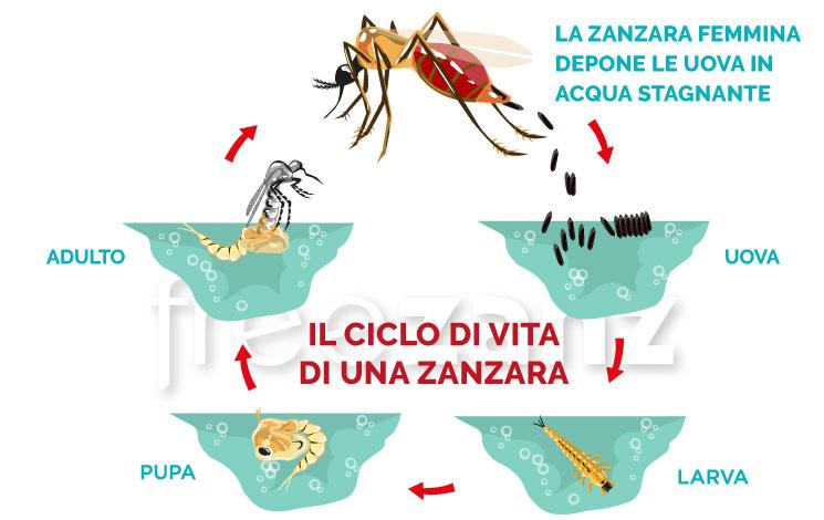 Qual è il ciclo di vita della zanzara?